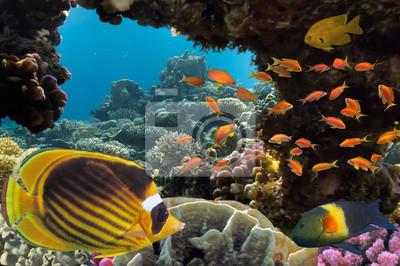 Naklejka Tropikalnych ryb i koralowców twardych w Morzu Czerwonym w Egipcie