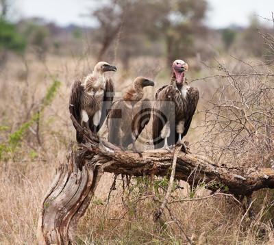 Trzy sępy siedzący na gałęzi