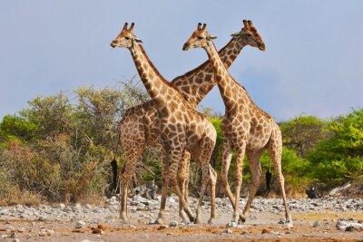 Naklejka trzy żyrafy spaceru w Parku Narodowym Etosha