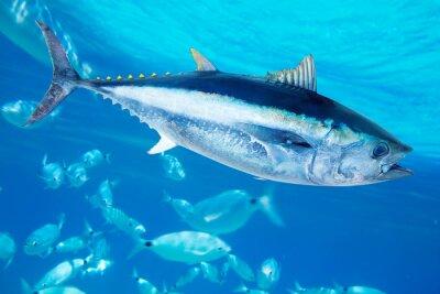 Naklejka Tuńczyk Thunnus błękitnopłetwy thynnus ryby morskie