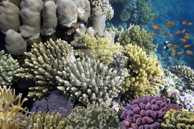 Naklejka Twarde korale i tropikalne ryby w Morzu Czerwonym