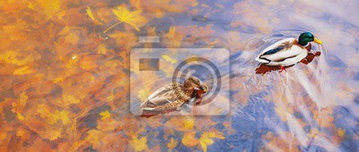 Naklejka Two mallard ducks on a water in dark pond with floating autumn or fall leaves, top view. Beautiful fall nature background. Autumn october season animal landscape. Vibrant red orange nature colors.