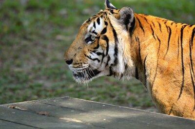 Naklejka Tygrys..