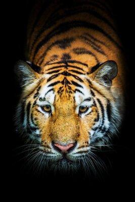 Naklejka Tygrys