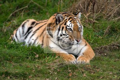 Naklejka Tygrys amurski