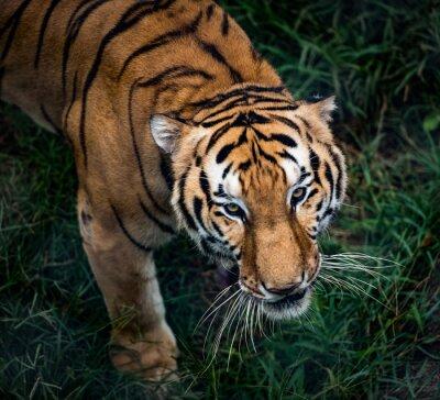 Naklejka Tygrys bengalski