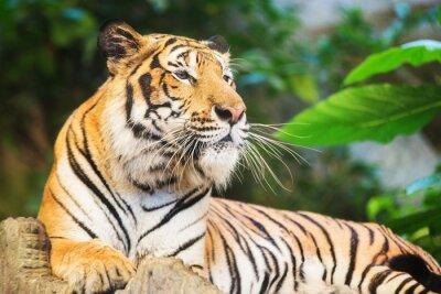 Naklejka Tygrys, portret Tygrys bengalski.