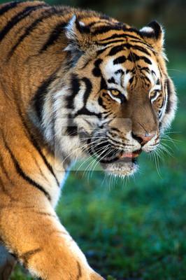 Naklejka Tygrys syberyjski