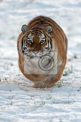 Naklejka Tygrys syberyjski Bieganie przez śnieg