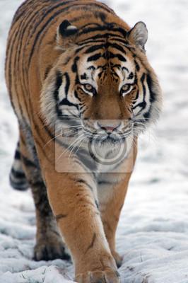 Tygrys syberyjski chodzenia po śniegu
