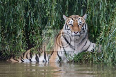 Naklejka Tygrys syberyjski (Panthera tigris altaica) / Amur Tiger schładza się w gęstym zielonym ulistnieniu na skraju rzeki