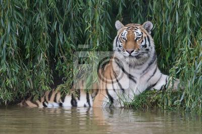Tygrys syberyjski (Panthera tigris altaica) / Amur Tiger schładza się w gęstym zielonym ulistnieniu na skraju rzeki