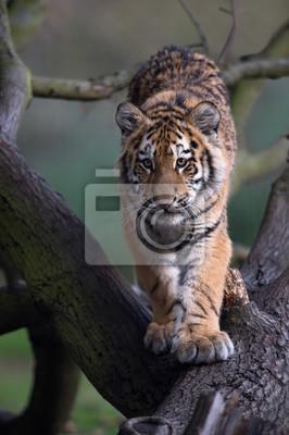 Naklejka Tygrys syberyjski (Panthera Tigris altaica) / Tygrys syberyjski idąc zwalone drzewo w ciemnym lesie