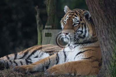 Tygrys syberyjski (Panthera tigris altaica) / Tygrys syberyjski na skraju lasu