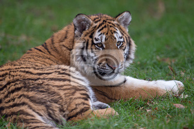 Naklejka Tygrys syberyjski (Panthera Tigris altaica) / Tygrys syberyjski odpoczynku w długiej zielonej trawie