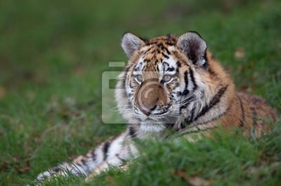 Tygrys syberyjski (Panthera Tigris altaica) / Tygrys syberyjski odpoczynku w długiej zielonej trawie