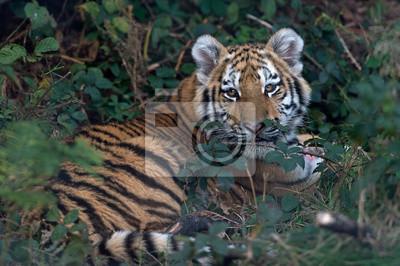 Tygrys syberyjski (Panthera Tigris altaica) / Tygrys syberyjski odpoczynku w grubym zielonym liści
