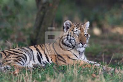 Naklejka Tygrys syberyjski (Panthera Tigris altaica) / Tygrys syberyjski spoczywa na dnie lasu