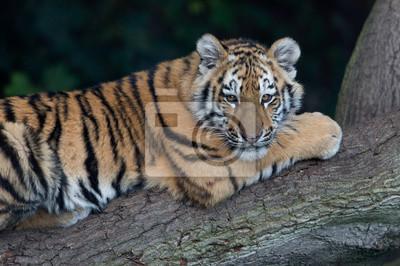Naklejka Tygrys syberyjski (Panthera Tigris altaica) / Tygrys syberyjski spoczywa na zwalone drzewo w ciemnym lesie