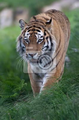 Naklejka Tygrys syberyjski (Panthera tigris altaica) / Tygrys syberyjski stalking przez długie trawy