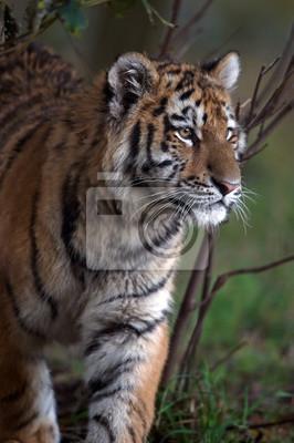 Tygrys syberyjski (Panthera Tigris altaica) / Tygrys syberyjski w ciemnym lesie
