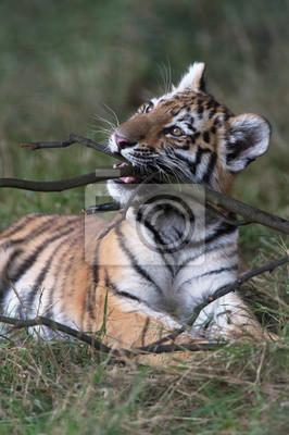 Tygrys syberyjski (Panthera Tigris altaica) / Tygrys syberyjski żucia kij w ciemnym lesie