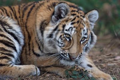 Naklejka Tygrys syberyjski (Panthera Tigris altaica) / Zamknij się portret Tygrys syberyjski