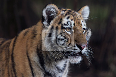 Tygrys syberyjski (Panthera Tigris altaica) / Zamknij się portret Tygrys syberyjski