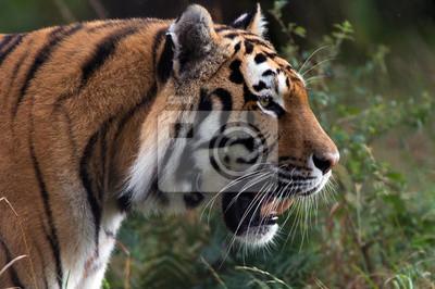 Naklejka Tygrys syberyjski Stalking przez ciemne Lesie