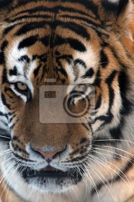 Naklejka Tygrys syberyjski twarz z bliska