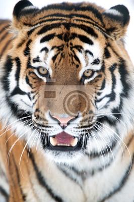 Tygrys syberyjski Zamknij