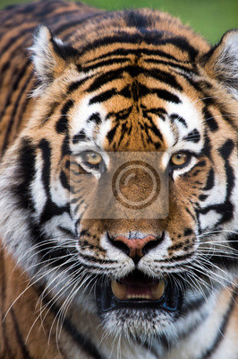 Naklejka Tygrys syberyjski Zamknij
