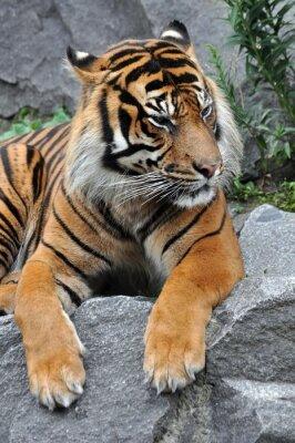 Naklejka Tygrys w stanie spoczynku