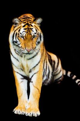 Naklejka Tygrys wychodzi z cienia