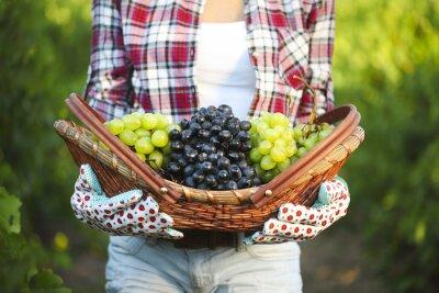 Naklejka Uśmiechnięta kobieta z koszem winogron w winnicy