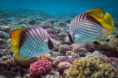 Naklejka Ustnik pawik (Chaetodon Woźnicy) i raf koralowych, Czerwony S