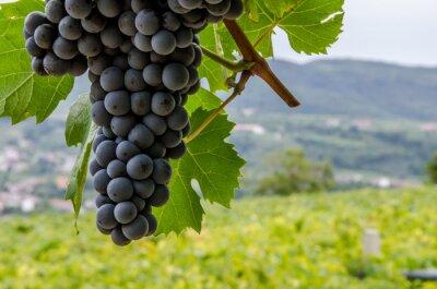 Naklejka Vigneti e Grappoli di uva Rossa nelle colline di Toscana e Veneto