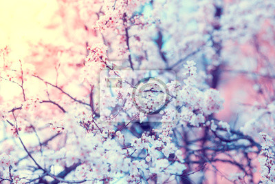 Vintage blossoming orchard. Branches with cherry flowers. Spring nature background