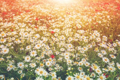 Vintage wild chamomile flowers. Blossoming wildflowers. Beautiful nature background. Matricaria chamomilla. Gradient color. Summertime