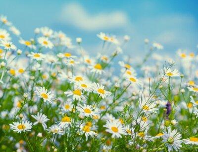Vintage wild chamomile flowers. Blossoming wildflowers. Beautiful nature background. Matricaria chamomilla. Summertime