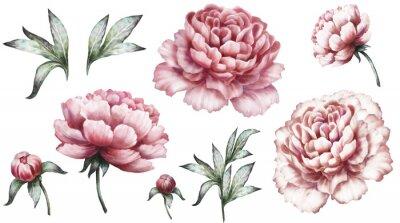 Naklejka Vintage zestaw elementów akwarela różowe piwonie, kolekcja ogrodowych kwiatów, liści, ilustracji na białym tle. bud i liści, piwonia