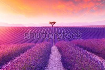 Naklejka Violet  lavender bushes.Beautiful colors purple lavender fields near Valensole, Provence in France, Europe