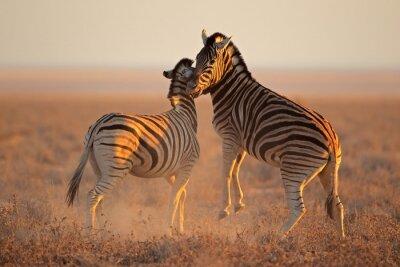 Naklejka Walcząc równiny zebry, Park Narodowy Etosha