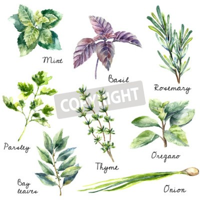 Naklejka Watercolor collection of fresh herbs isolated: mint, basil, rosemary, parsley, oregano, thyme, bay leaves, green onion  Hand draw illustration