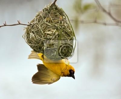 Weaver budowania gniazdo na drzewie z nieba