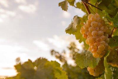 Naklejka Weintraube im abendhimmel
