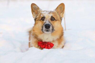 Naklejka Welsh Corgi Pembroke psa pobytu w śniegu