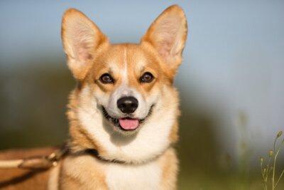 Naklejka Welsh Corgi psa