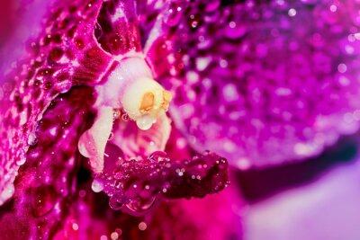 Naklejka Wet czerwony fioletowy storczyk - Image