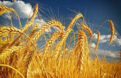 Naklejka Wheat field against a blue sky